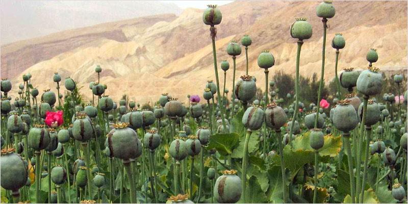 weed-vs-opioids-CI-1